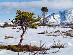 Furu skog snø
